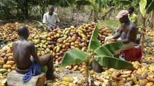Chocolade en cacao oogsten